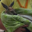 Kangaroo - Joey