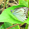 Striped Albatross Butterfly (Male)