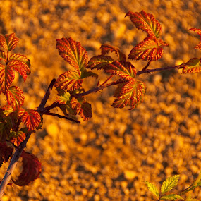 Indian summer by Cristian Bobocea - Nature Up Close Other plants ( blackberry, warm, indian summer, vine, late, summer )