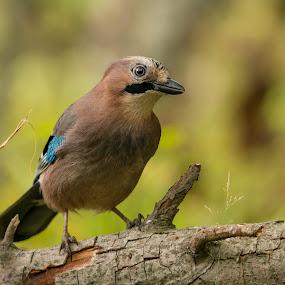 Nøtteskrike/Jay by Rita Birkeland - Animals Birds ( bird, eurasian jay, autumn, feeding, jay, bird photography,  )