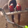 Scarlet Macaw. Guacamaya roja