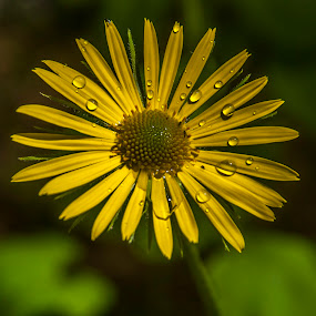 dandelion by Enver Karanfil - Flowers Flowers in the Wild ( yellow, hindiba,  )