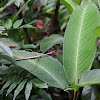 Phasmatodea -Insecto palo -walking stick