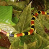 Central American Coral Snake
