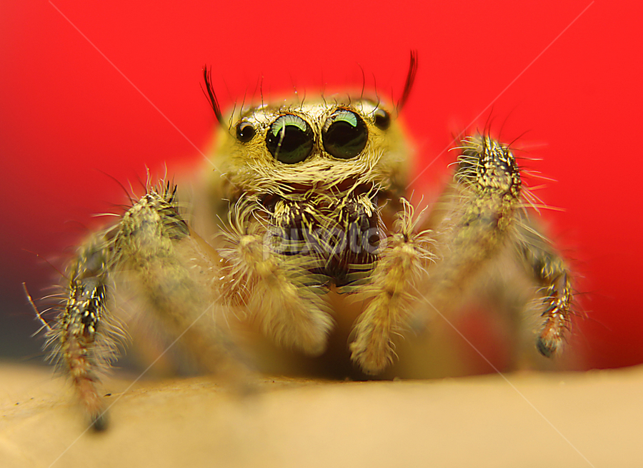 jumper  by Aris Agustiar - Animals Insects & Spiders ( jumping, spider jumper, jumping spider, jumper spider )