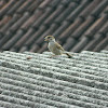 House Sparrow ( Young Female )