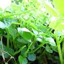 Pepper elder or Clearweed