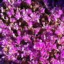 Rosea ice plant