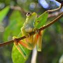 Green bones tree frog