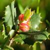 Holm oak gall