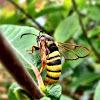 Hornet Clearwing