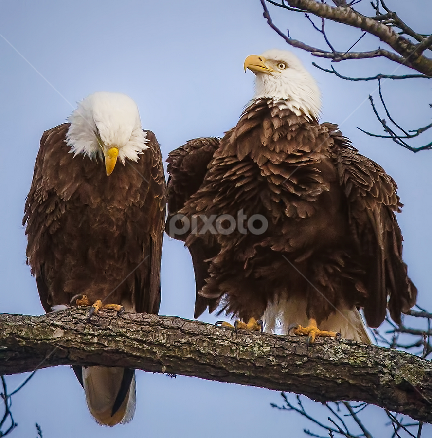 Bald Eagle Mating Ritual by Don Holland - Animals Birds