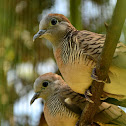The Zebra Dove