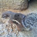 Harris' Antelope Ground Squirrell