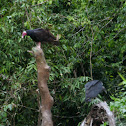 Turkey vulture and Black vulture