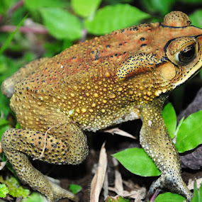 Frog by Akhmat Haridi - Animals Amphibians