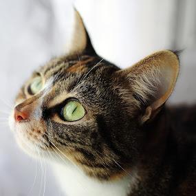 Tortoiseshell Cat by Selena Chambers - Animals - Cats Portraits ( tortoiseshell and white cat, cat, tortie, tortoiseshell cat, domestic cat, , #GARYFONGPETS, #SHOWUSYOURPETS )