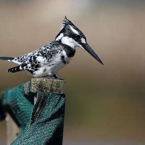 Pied Kingfisher by Adéle van Schalkwyk - Animals Birds