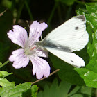 Green-veined White (male)