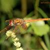 Crimson Marsh Glider(Sub-adult Male)