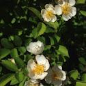 Mulifloral rose bush