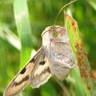 Heliothis Phloxiphaga Moth