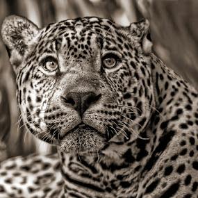 by Nancie Rowan - Animals Lions, Tigers & Big Cats