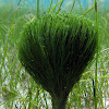 Shaving Brush Alga