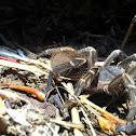 Puerto Rican Pygmy Tarantula