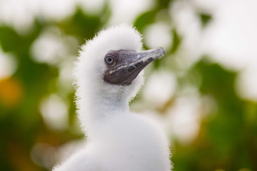 Cayman-Islands-Booby-chick - A booby chick on Little Cayman in the Cayman Islands.