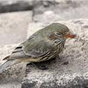 Speckled Warbler (juvenile)