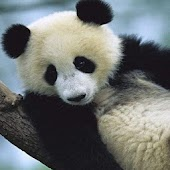 Funny Panda Pictures i