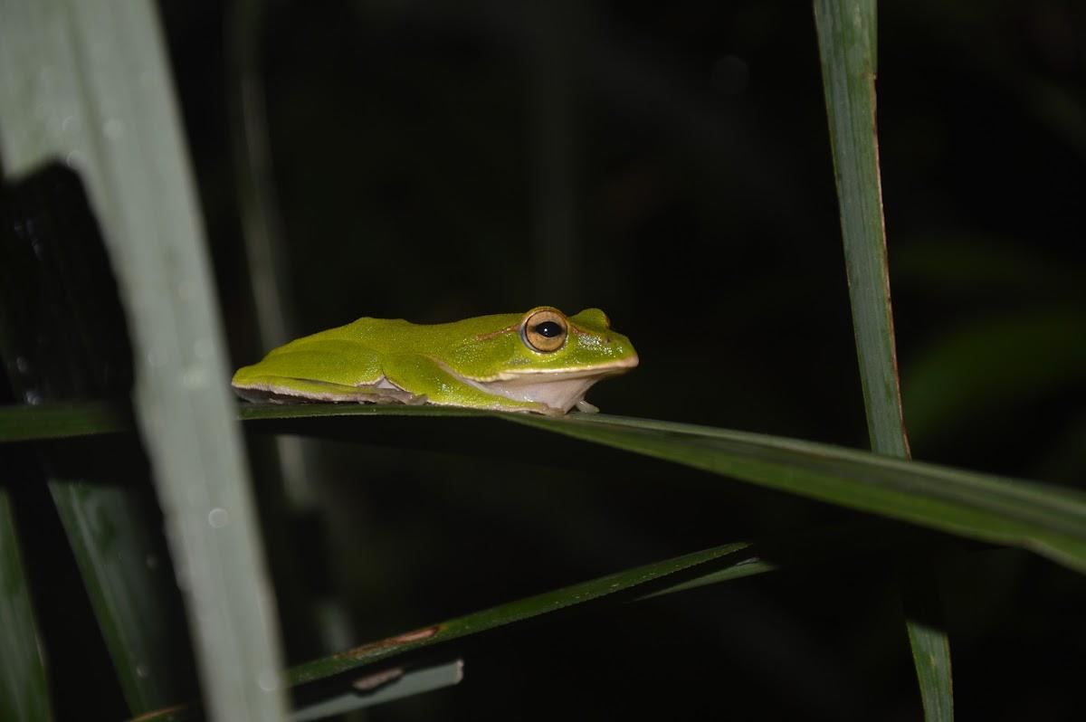 翡翠樹蛙 / Emerald tree frog