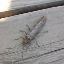 Giant Stonefly