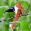 Ceylon Paradise Flycatcher(Female)
