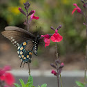 Pipervine swallowtail