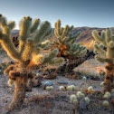 """Cholla Cactus """"Teddy Bear Cactus"""""""