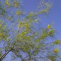 Retama or Palo Verde
