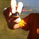 Asian clam.