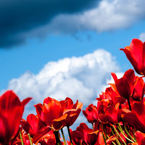 Spring Cloud by Cristian Bobocea - Flowers Flower Gardens ( clouds, sky, cloud, tulips, spring, flower )