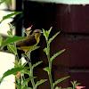 Olive-backed Sunbird - Female