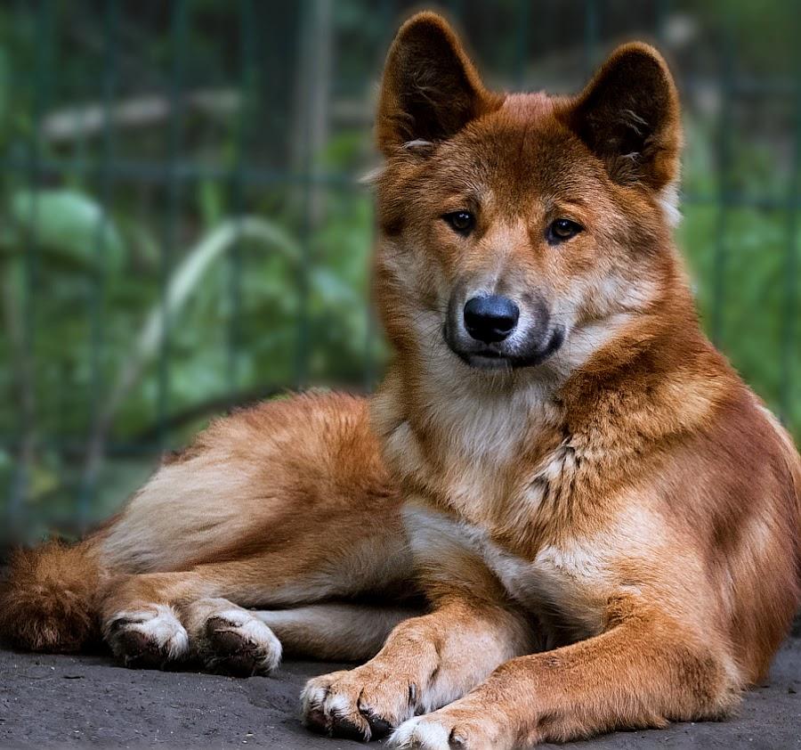 Dingo by Renos Hadjikyriacou - Animals - Dogs Portraits ( animals, dingo,  )