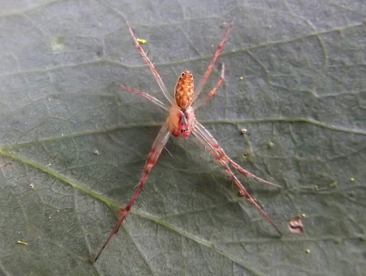 Undetermined spider