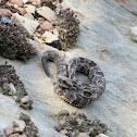 Yearling Timber Rattlesnake