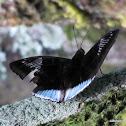 White-Edged Blue Baron (Male)