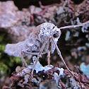 Fall Cankerworm Moth (female)
