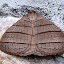 Eupterotidae