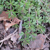 Common Bedstraw