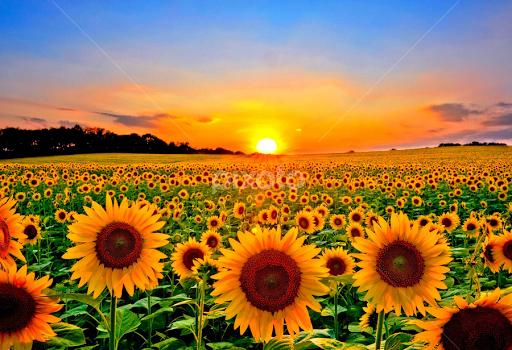 Field Of Sunflowers By Bill Morris
