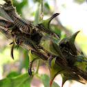 Thorn Treehopper nymphs